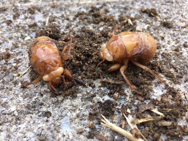 セミの幼虫