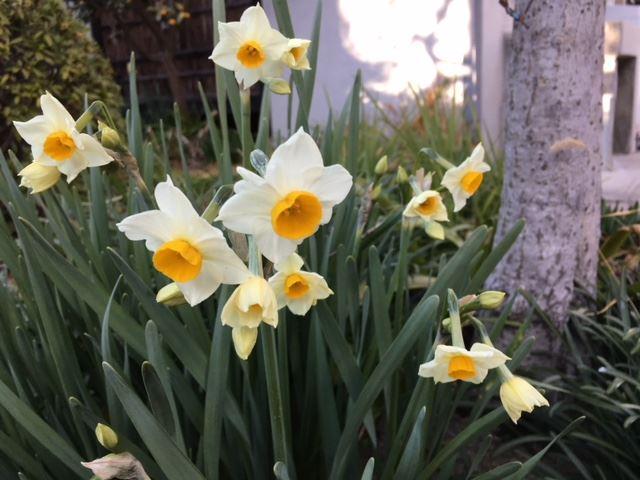 スイセンの花